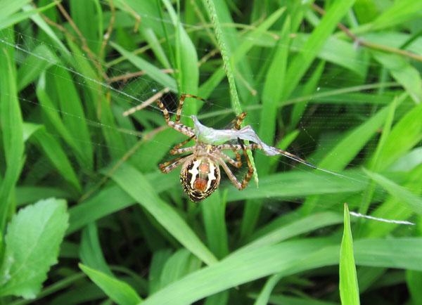 草屁股_一个瞬间,他抓到小蚱蜢,用他的屁股吐出丝把猎物包裹著.