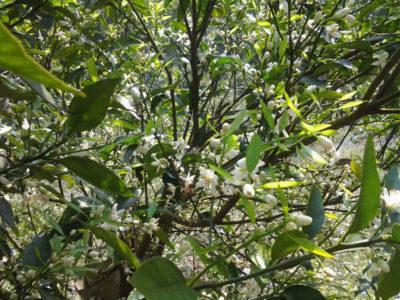 蜜蜂在帝王柑上採蜜