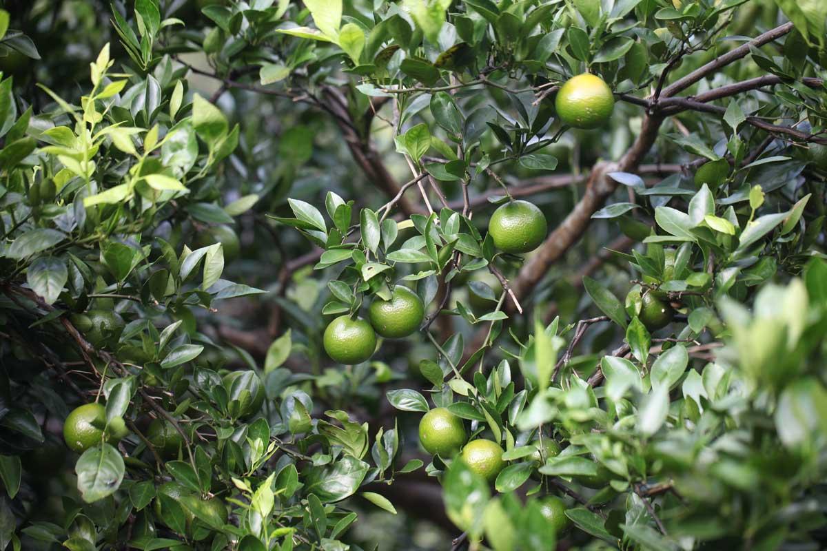 蕭秋文阿伯的帝王柑果樹